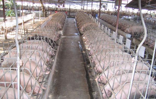 hệ thống làm mát chống nóng cho trang trại nuôi heo